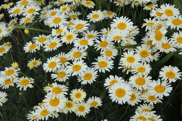 Anthemis 'Lemon Maid'