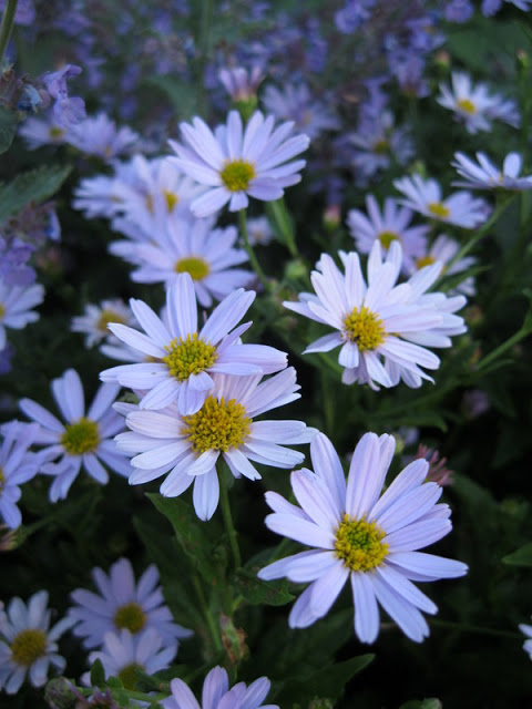 Kalimeris incisa 'Blue Star'