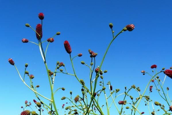 Sanguisorba officinalis 'Arnhem'