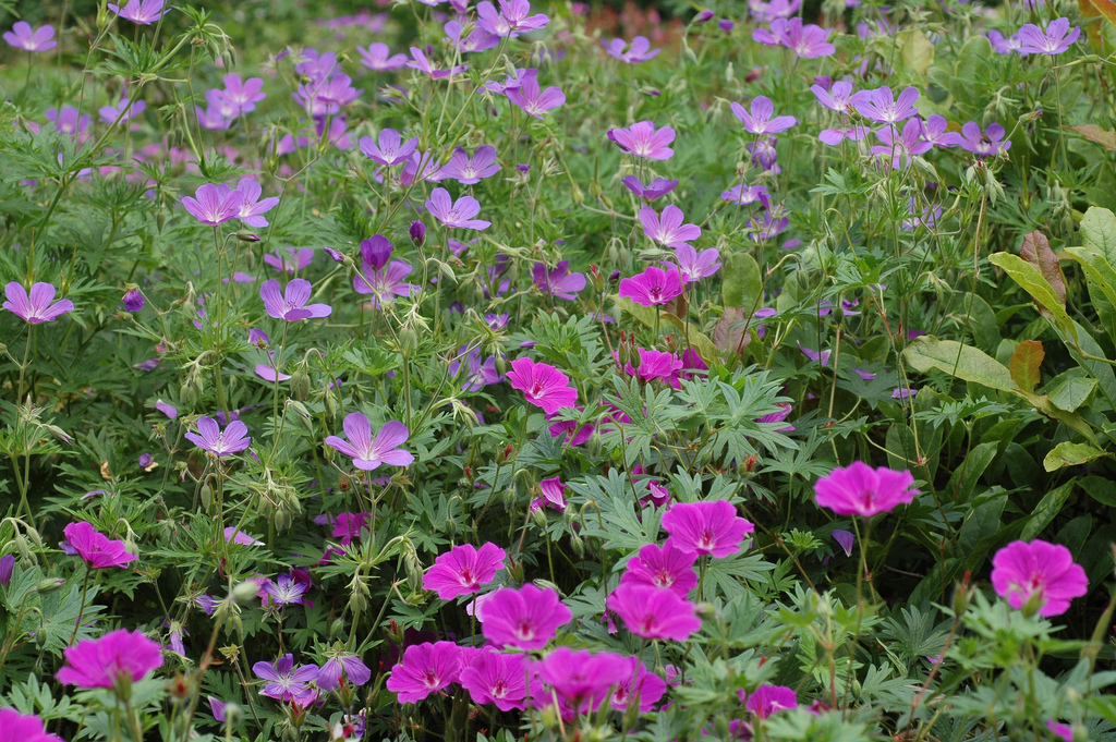 Geranium 'Nimbus' 'Tiny monster'